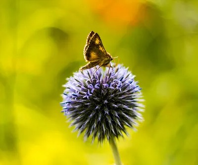 Globe Thistles And Other Nice Looking Xeriscape Plants