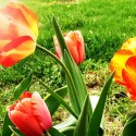 I Have A Thing For Bicolor Bulbs, Especially Tulips