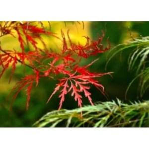 Autumn foliage of cutleaf Japanese maple