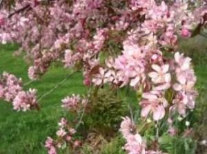 crabappleblossom