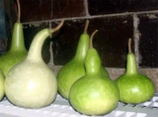 Birdhouse Gourds Drying