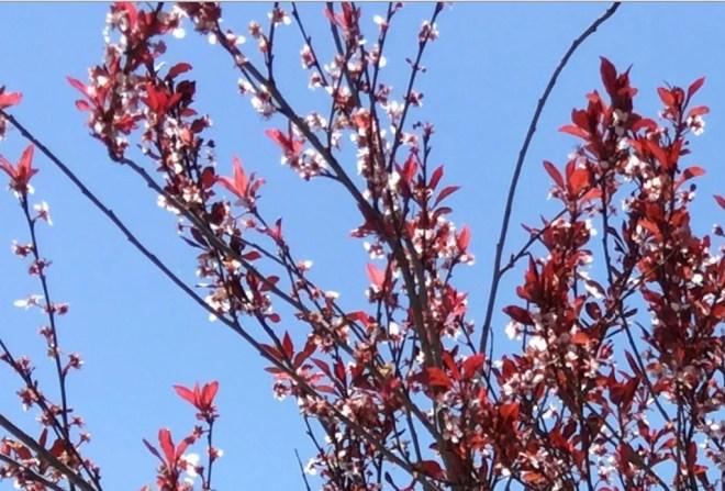short lived purple leaf plum