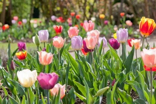 Darwin Tulips in many colors