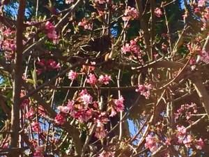 Viburnum 'Dawn' blooming