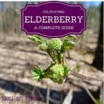 How To Cultivate Elderberry: Homestead Blog Hop #22