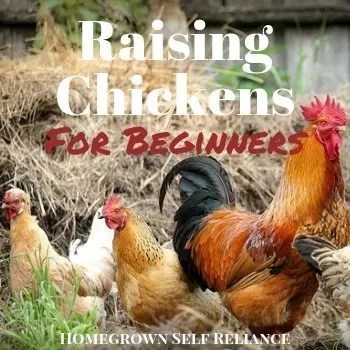 Raising Chickens for Beginners - Homegrown Self Reliance