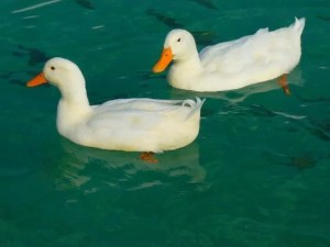 Raising ducks for meat and eggs