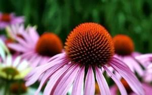 Echinacea for herbal remedies