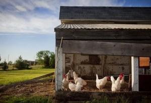 Winter chicken care - Chicken coop with white chickens