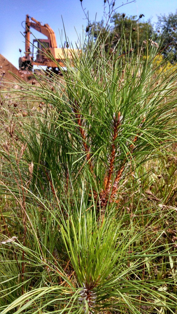 Red Pine is in the septic field area