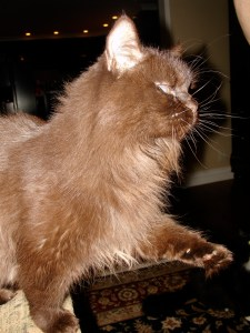 Treating and Preventing Feline Herpes Virus Infections