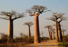 Health benefits of baobab
