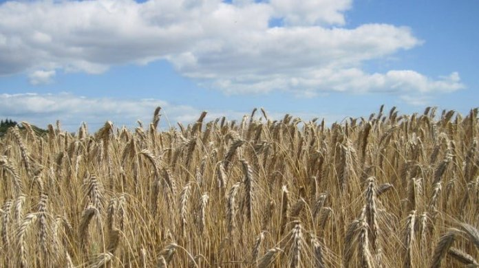 Health benefits of triticale