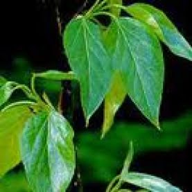 Health benefits of balsam of Peru essential oil