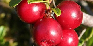 Health benefits of bearberry
