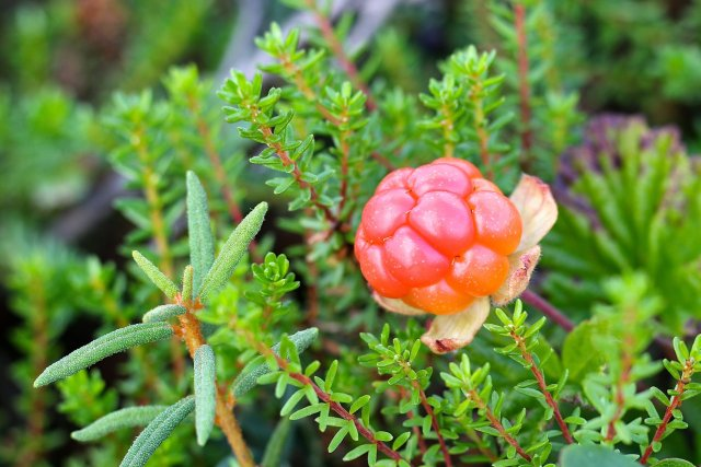 Health benefits of cloud berry