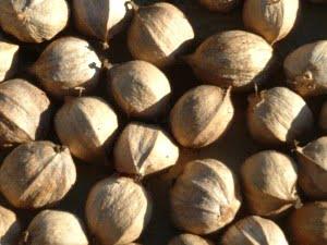 Health benefits of hickory nut