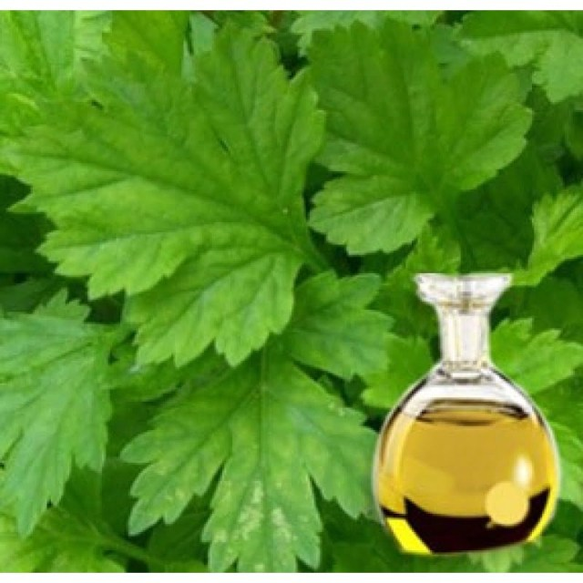 Mugwort essential oil
