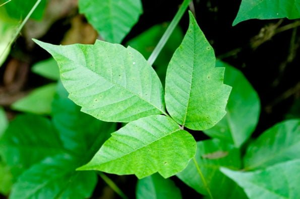 poison ivy home remedy