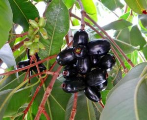 blackberry-জাম