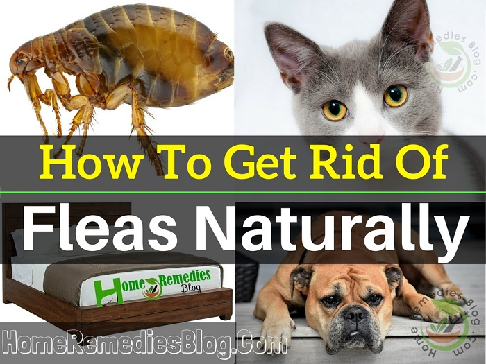 How to Get Rid of Fleas Naturally from House, Cats & Dogs