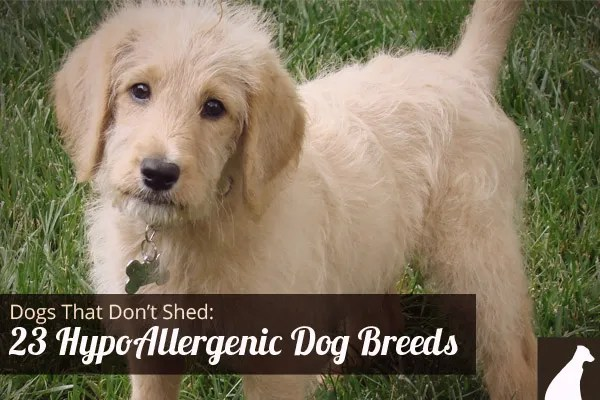 Hypoallergenic Dogs That Don't Shed