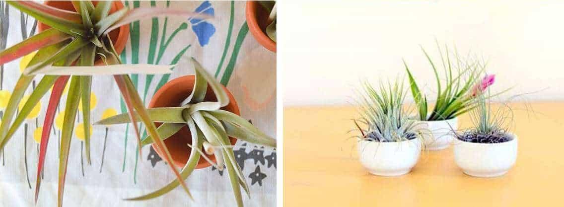 Luchtplantje in koffiekopje en bloempotjes | 9 originele diy tips voor luchtplantjes in huis | www.homeseeds.nl