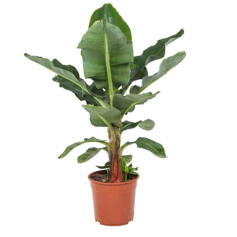 Musa dwarf cavendish bananenplant