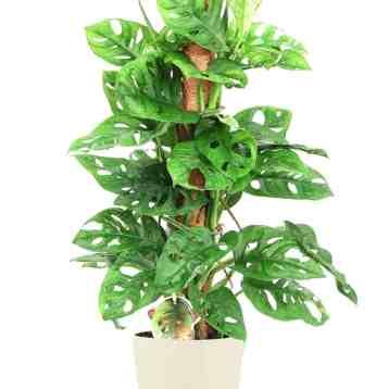 Monstera Monkey Mask Monkey Leaf op mosstok. Grote monstera | Groene kamerplant | Homeseeds.nl