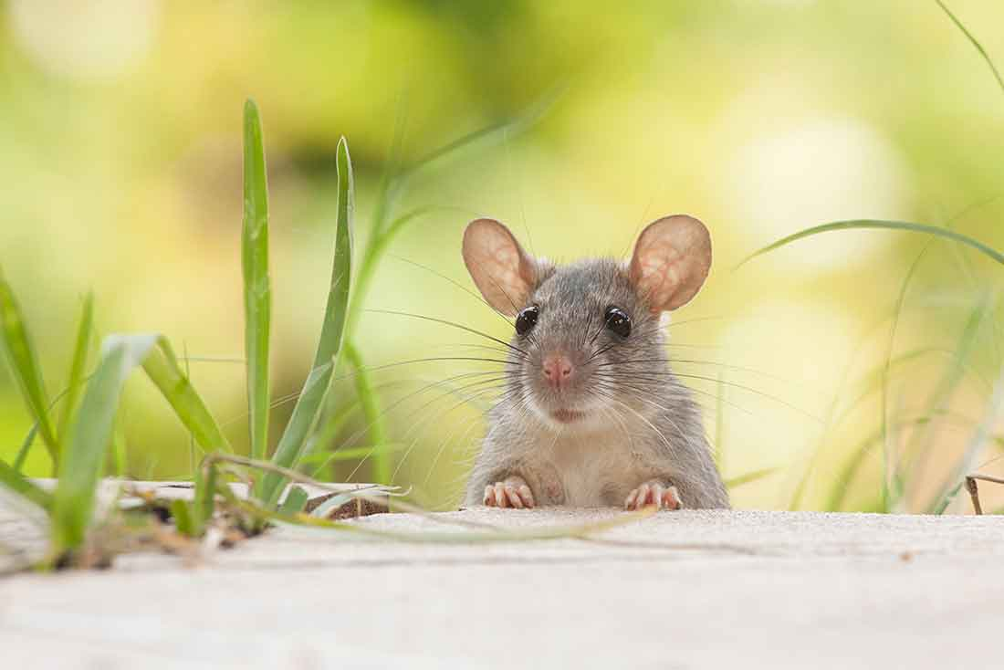 How To Deter Mice And Rats From Your Home How To Videos Diy As Well As Lifestyle Tips And Tricks