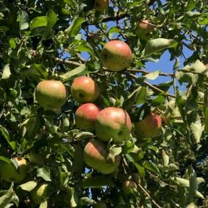 farm fresh produce, apple tree