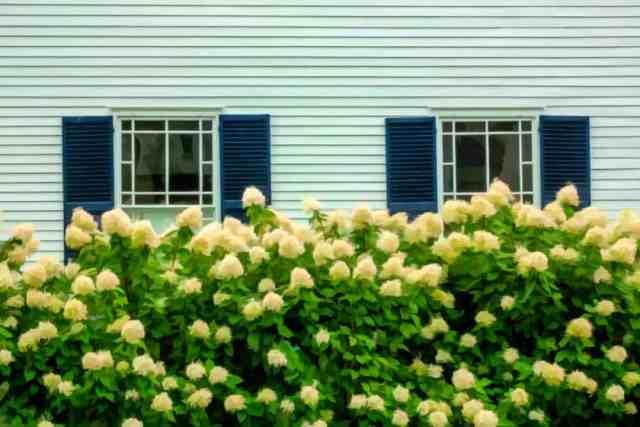 Bir ortanca çitinden görüldüğü gibi bir çift panjur pencereli yeşil evin dış cephe kaplaması.