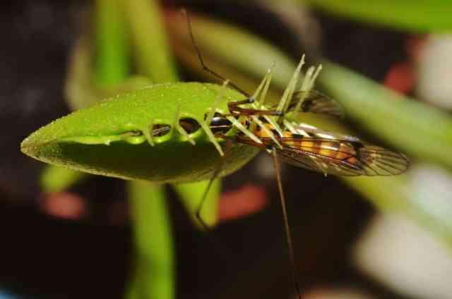 Kapana kısılmış bir böceğe sahip etçil bir bitkiye yakından bakış.