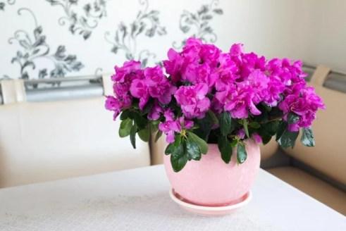 Azaleia rosa