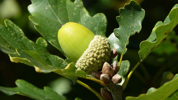 oak-leaf-acorn