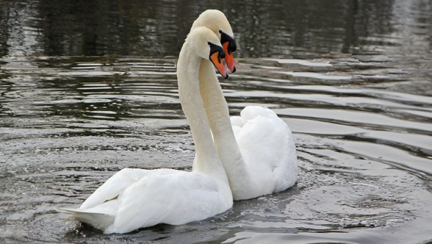 swans-web