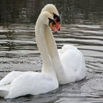 Smiths Falls invests in swans to keep geese at bay