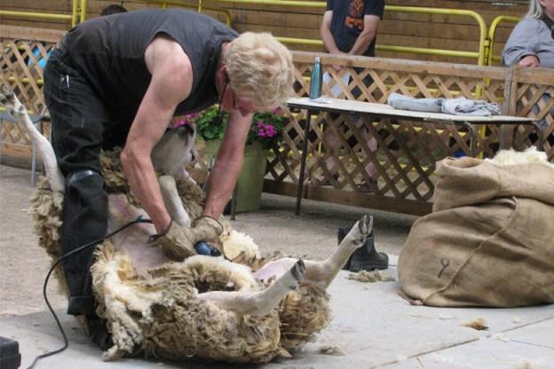 sheep-sheering-Lombardy-2017