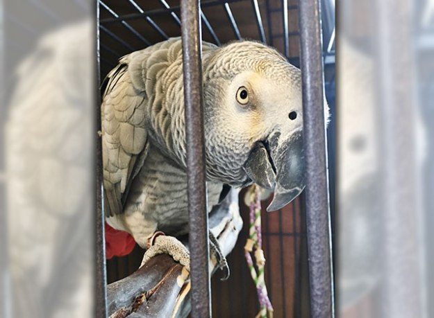 White parrot standing on perch looking through the bars of it's cage.