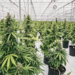 Canada's Cannabis Project discussed at council