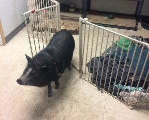 A black micropig by an indoor pen