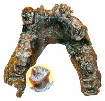 Une mandibule de Sahelanthropus tchadensis