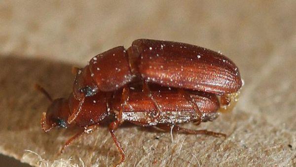 escarabajos rojos especies homosexualidad natural