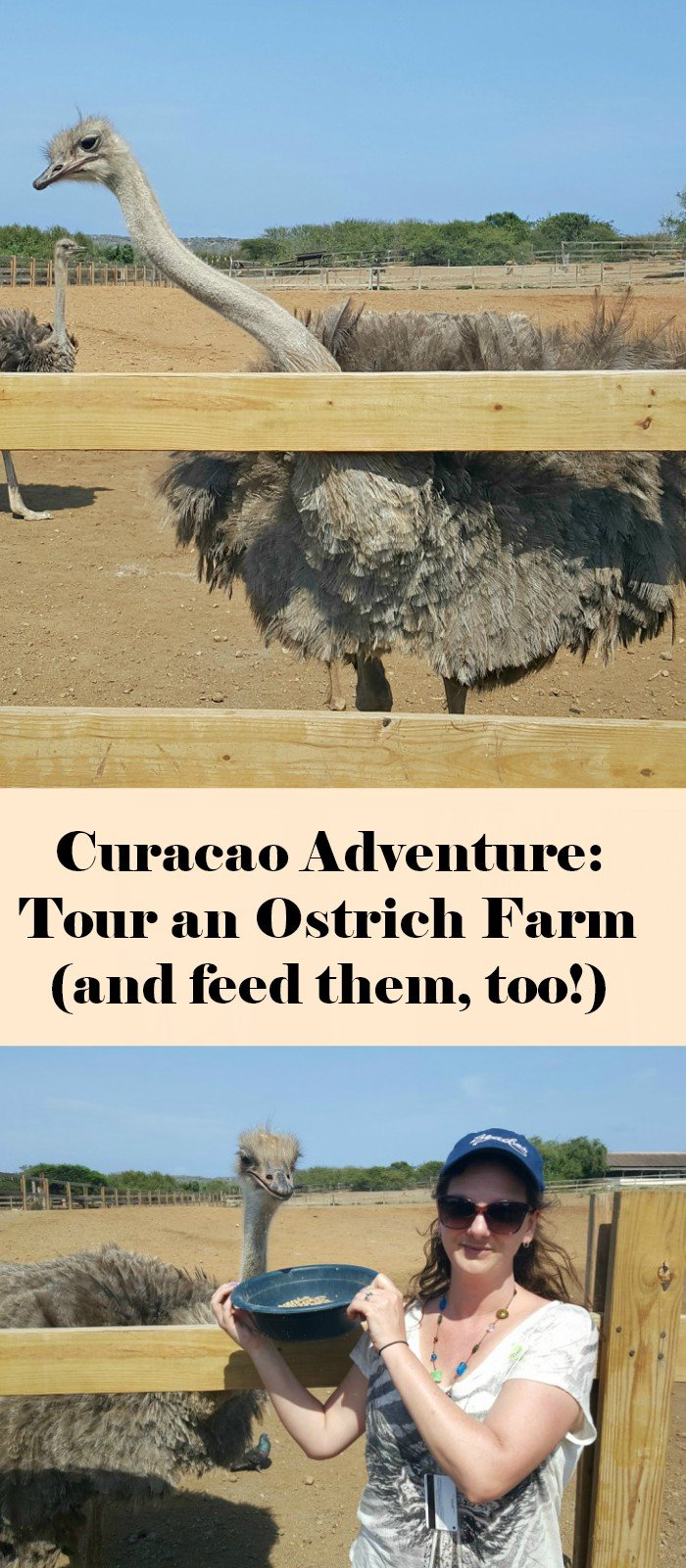 Why you want to book the Curacao ostrich farm tour cruise shore excursion. This unique experience is well worth the money - learn why!