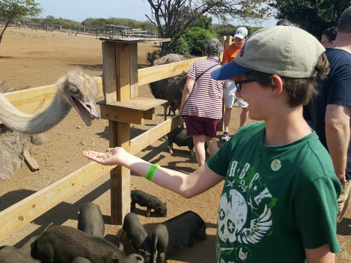 Hand feed ostriches in Curacao at the ostrich farm
