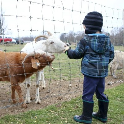 Just Feeding The Goats To Celebrate A Boy Turning Three