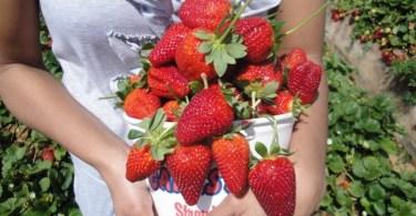 Strawberries from Carlsbad u-pick in San Diego