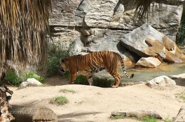 Sumatran Tiger, Los Angeles Zoo