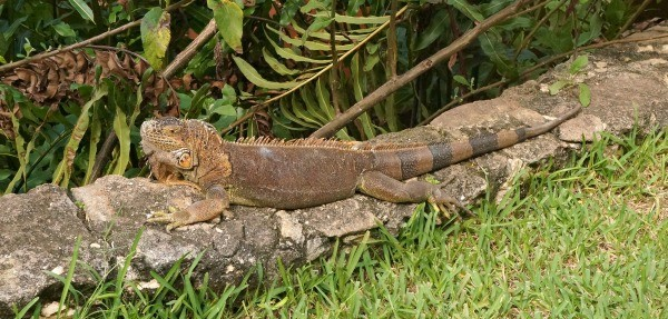 Iguana at MELIA Vacation Club Cozumel Resort