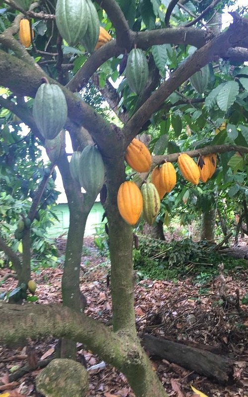 Fathom travel, Cacao pods on a cacao tree at Chocal Alta Mira, they can be green, red or yellow and they are about the size of a medium melon